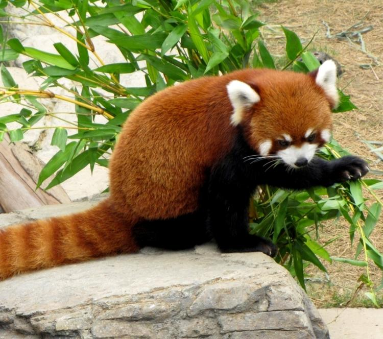 red pandas freeimages2